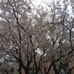 病院の桜2019.3.30